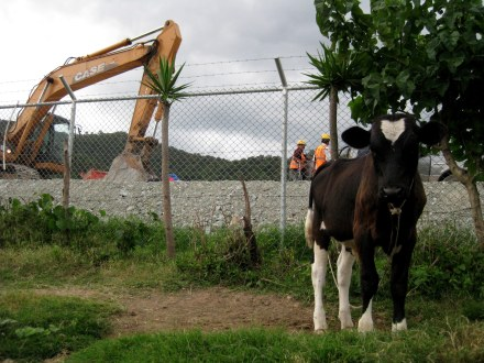 Cow in front of Tahoe mine site